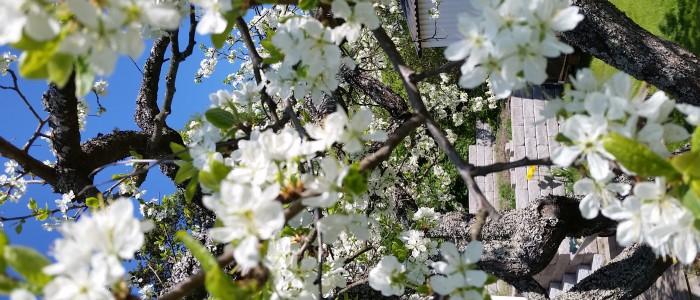 Plommonträd våren 2016